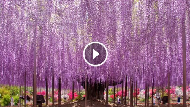 Un glicine di 144 anni che sembra un cielo rosa… Guarda il video in 4K Ultra HD