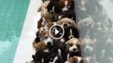 Quanti beagle veri ci sono in questo video?