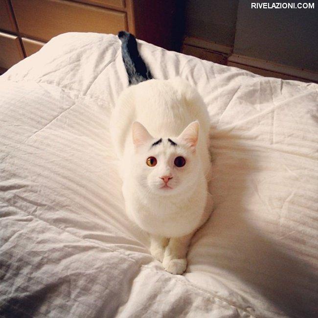 gato con sopracciglia