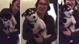 Questo piccolo husky è convinto di essere un bambino vero!