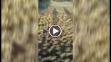 Cina: il primo bagnetto di 5mila anatroccoli, l'entusiamo è incontenibile