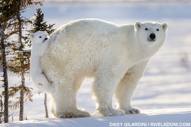 orso polare vede la neve per la prima volta
