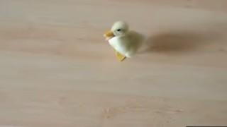 Video dell'anatroccolo più adorabile del mondo