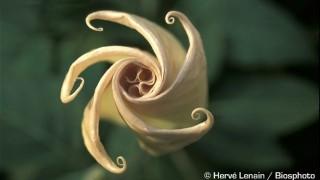 Questo fiore viene chiamato anche Fiore del Diavolo o Fiore delle Streghe