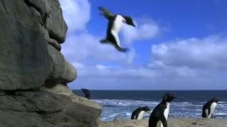 Videocamere nascoste che riprendono i pinguini in clamorose cadute!