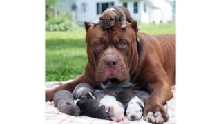 Hulk, il pitbull più grande del mondo è diventato papà di 8 cuccioli