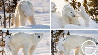 Cucciolo di orso polare si aggrappa alla mamma durante la sua prima volta sulla neve