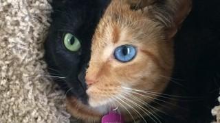 Venus, il gatto bicolore, è un vero mistero della natura