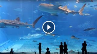 L'acquario Churaumi è così grande da poter comodamente contenere anche 3 squali balena