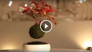 Il bonsai che fluttua come per magia
