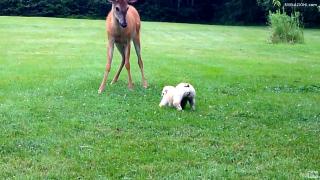 Un cucciolo di cane incontra un giovane cervo selvatico e iniziano a rincorrersi come vecchi amici. Un video meraviglioso.