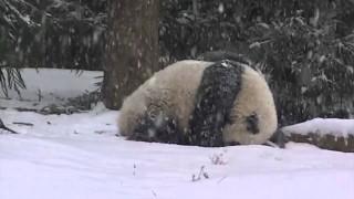 Bao Bao rotola felice sotto la nevicata