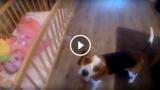 La bambina piange nel suo lettino, ma il suo Beagle sa cosa fare!