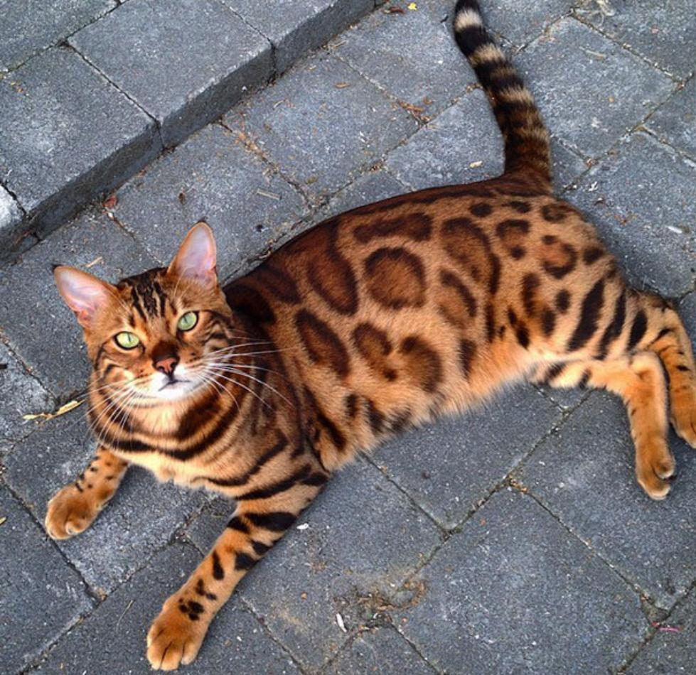 bengal-cat-spots-fur-thor-6
