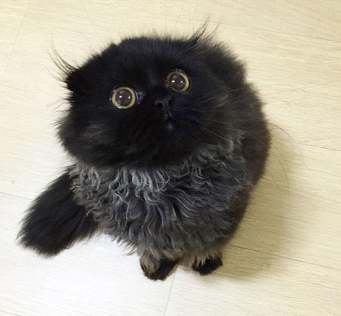 big-cute-eyes-cat-black-scottish-fold-gimo-1room1cat-122 (1)