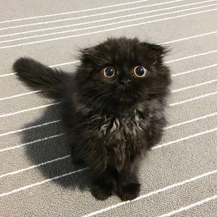 big-cute-eyes-cat-black-scottish-fold-gimo-1room1cat-271