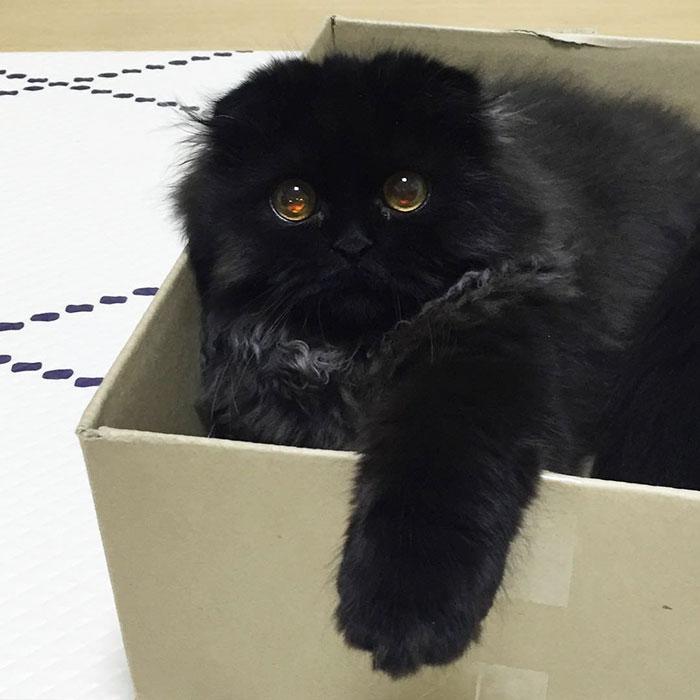 big-cute-eyes-cat-black-scottish-fold-gimo-1room1cat-92