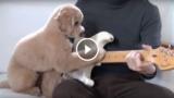 Questo cagnolino ha un talento per la musica.  Ecco come accompagna alla chitarra il suo amico