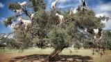 In Marocco le capre crescono sugli alberi?