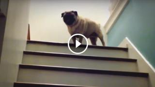 Come sale le scale un Carlino furbetto