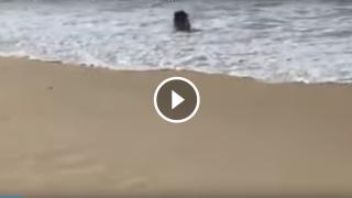 La gioia del cinghiale che fa il bagno all'Isola d'Elba (Italy)