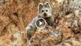 Il Pika di Ili, uno degli animali più rari del mondo in un video esclusivo