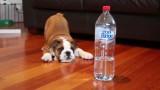 Il piccolo bulldog arrabbiato con la bottiglia d'acqua