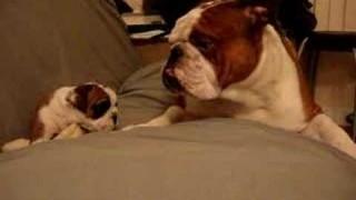 Cucciolo di Bulldog Inglese incontra il suo papà per la prima volta