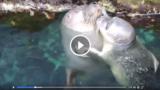 Fiocco azzurro all'acquario di Genova, è nato un cucciolo di foca