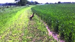 Ecco a voi il caneguro, l'incrocio tra un cane e un canguro :-)