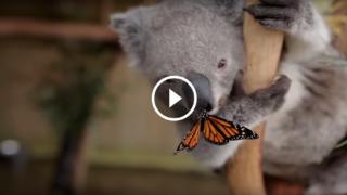 La farfalla dispettosa sul naso del Koala sta facendo divertire mezzo mondo