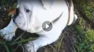 La farfalla sul naso  del bulldog non se ne vuole andare