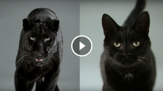 Video strepitoso: Il Gatto e la Pantera a confronto