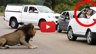 Il leone mostra ai turisti perché é meglio stare in auto.