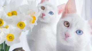 Vi presento Iriss e Abyss, le gatte gemelle più belle del mondo