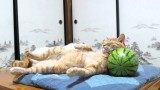 Gatto che dorme sull'anguria |VIDEO