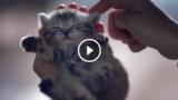 """Il gatto """"Whiskas"""": conosciamolo meglio, è il British Shorthair Silver Tabby"""