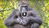 Due gemelli per mamma gorilla: un evento raro di una dolcezza infinita