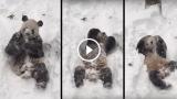 Questo panda che gioca con la neve mette buon umore!