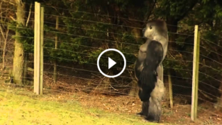 Il gorilla che cammina come un uomo è diventato una star internazionale