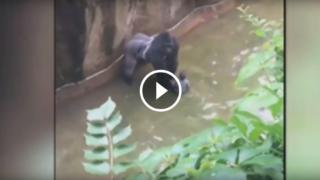 Gorilla ucciso in uno zoo per salvare un bimbo caduto nel suo recinto