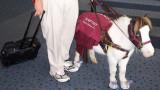 I cavalli in miniatura come guida per i ciechi