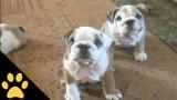 I cani più divertenti e pasticciotti del mondo! Se guardi questo video ti innamorerai, occhio…