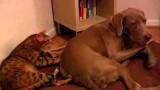 Perchè il gatto massaggia il cane? Mistero…