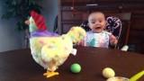 La gallina che depone le uova fa impazzire di gioia il bimbo!