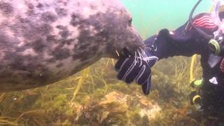 La foca che vuole essere coccolata dal sub