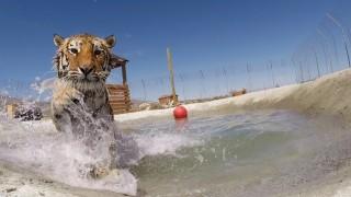 La gioia indescrivibile di questa tigre che nuota per la prima volta