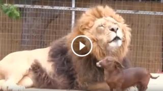 Il leone e il bassotto amici per la pelle.