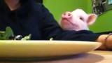 Educato, composto e paziente: il maialino condivide con la padrona un piatto di insalata