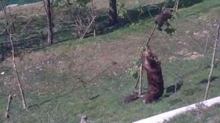 Mamma orsa cerca di salvare il piccolino, ma guardate chi l'aiuta
